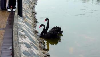 Батьківська підтримка: пара лебедів вмовляють малюка спустись у воду