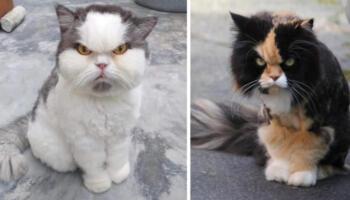 15 кішок, які претендують на титул «Злюка року». Кажуть, що наші домашні улюбленці кимось чином схожі на нас