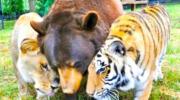 Незвичайна дружба: ведмідь, лев і тигр нерозлучні вже більше 15 років!