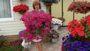 Петунія: ефективні підгодівлі для пишного цвітіння