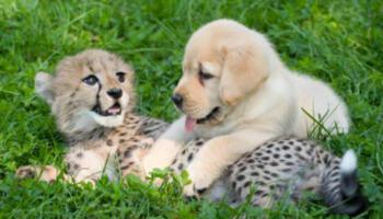 Міцна дружба! Самотнє дитинча гепарда подружилося з маленьким щеням