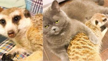 Сурикат, якого забрали з контактного зоопарку тепер живе в будинку і дружить з котом