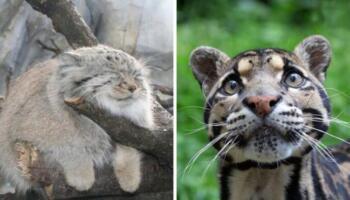 У світі існує 12 різновидів рідкісних котів. Про деякі ви навіть не знали
