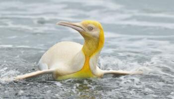 Єдиний в своєму роді жовтий пінгвін вперше потрапив на фото