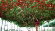 Приголомшливе помідорне дерево, яке виростили в Ізраїлі