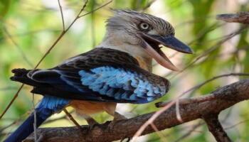Птах кукабара співає так, що будь-хто побоїться ходити по лісі (відео)