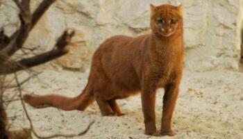 Незвичайна кішка ягуарунді: їсть фрукти, цвірінькає і дружить з мавпами