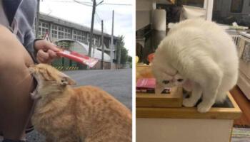 12 котиків, які дуже схожі на людей