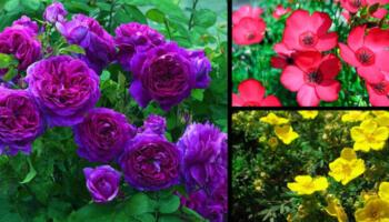 Багаторічні рослини, які цвітуть все літо