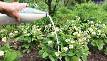Підживлення полуниці під час цвітіння. Одне з кращих добрив для великого врожаю