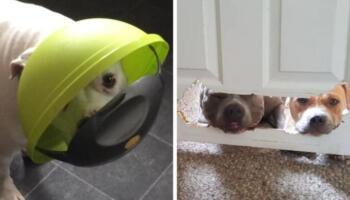 17 випадків, коли господарі застали своїх собак на місці злочину і розкрили всю їх хуліганську сутність
