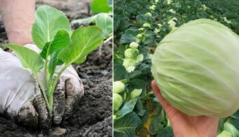 Головні секрети вирощування гарної капусти. Чим підживити та як доглядати
