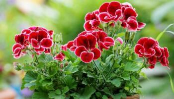 За яких умов герань цвіте рясно все літо